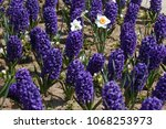 hyacinth and narcissus ...   Shutterstock . vector #1068253973