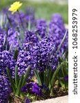 hyacinth and narcissus ...   Shutterstock . vector #1068253979