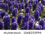 hyacinth and narcissus ... | Shutterstock . vector #1068253994