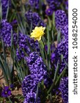 hyacinth and narcissus ...   Shutterstock . vector #1068254000