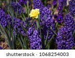 hyacinth and narcissus ...   Shutterstock . vector #1068254003