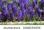 hyacinth. field of colorful... | Shutterstock . vector #1068254354