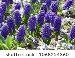 hyacinth. field of colorful... | Shutterstock . vector #1068254360