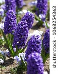 hyacinth. field of colorful...   Shutterstock . vector #1068254363