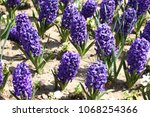 hyacinth. field of colorful...   Shutterstock . vector #1068254366