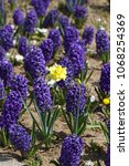 hyacinth. field of colorful...   Shutterstock . vector #1068254369