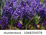 hyacinth. field of colorful... | Shutterstock . vector #1068254378