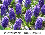 hyacinth. field of colorful... | Shutterstock . vector #1068254384