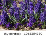 hyacinth. field of colorful... | Shutterstock . vector #1068254390