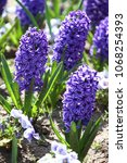 hyacinth. field of colorful...   Shutterstock . vector #1068254393