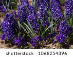 hyacinth. field of colorful...   Shutterstock . vector #1068254396