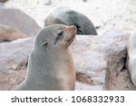 seals skeleton coast namib group | Shutterstock . vector #1068332933