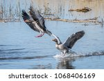 Greylag Goose Bird Animal