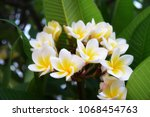 group of yellow white and pink... | Shutterstock . vector #1068454763