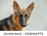 german shepherd dog   young... | Shutterstock . vector #1068466976