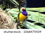 the gouldian finch  erythrura... | Shutterstock . vector #1068475439