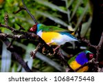 the gouldian finch  erythrura... | Shutterstock . vector #1068475448