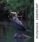 Cormorant At Rest On A Rock In...