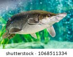 arapaima gigas  also known as... | Shutterstock . vector #1068511334