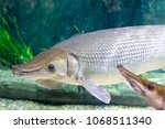 arapaima gigas  also known as... | Shutterstock . vector #1068511340