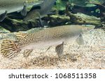arapaima gigas  also known as... | Shutterstock . vector #1068511358