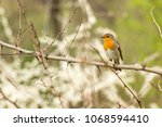 the european robin  erithacus... | Shutterstock . vector #1068594410