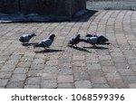 pigeons eating bread crumbs... | Shutterstock . vector #1068599396