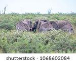 group of african elephants in...   Shutterstock . vector #1068602084