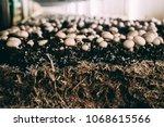 mushrooms portobello and...   Shutterstock . vector #1068615566