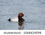 male common pochard  aythya... | Shutterstock . vector #1068624098