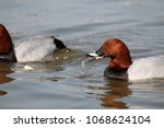 male common pochard  aythya... | Shutterstock . vector #1068624104