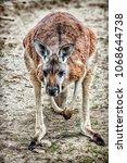 Kangaroo Crouching Low