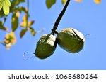 fruit of ceiba speciosa | Shutterstock . vector #1068680264