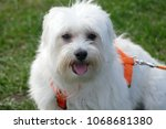 A Cute Maltese Dog In The...