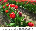 bright red and yellow tulips in ... | Shutterstock . vector #1068686918