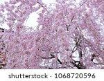 weeping cherry tree | Shutterstock . vector #1068720596