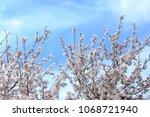 plum blossoms in full bloom | Shutterstock . vector #1068721940