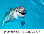 dolphin portrait while looking... | Shutterstock . vector #1068728774