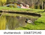 A Duck By A Lake With Green...