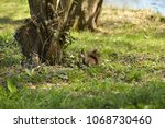 A Squirrel On The Grass On A...