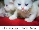Stock photo furry little white kitten with blue eyes portrait 1068744656