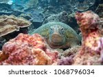 green turtle resting on a coral ...   Shutterstock . vector #1068796034