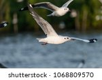 Flying Seagull  Sea Gulls In...