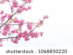 pink sakura flowers  beautiful... | Shutterstock . vector #1068850220