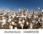 cotton fields white with ripe... | Shutterstock . vector #106885658