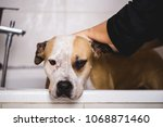 dog grooming process. adorable... | Shutterstock . vector #1068871460