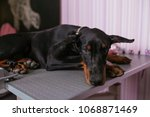 Young And Sad Purebred Doberma...