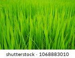 scenic of green grass in rice...   Shutterstock . vector #1068883010