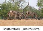 group of zebras in the zoo. | Shutterstock . vector #1068938096