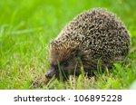 hedgehog   erinaceus europaeus | Shutterstock . vector #106895228